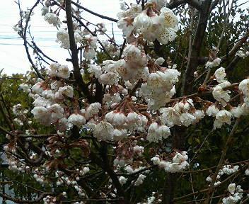 サクランボの花が…_e0124021_1021466.jpg