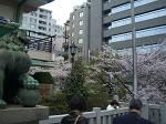 桜と狛犬_d0065324_18325443.jpg