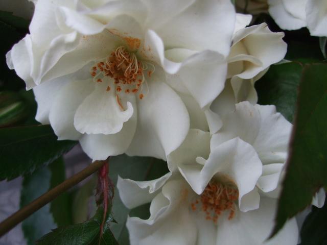 オークリーフ(先生へ贈る花束)_f0049672_13183883.jpg