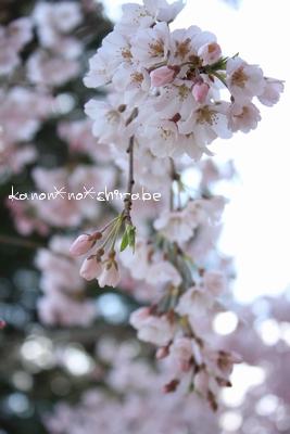奈良・京都桜旅行『奈良 氷室神社編』_d0148187_21262972.jpg