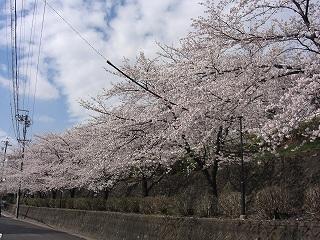 覚王山は満開_f0059988_19232899.jpg