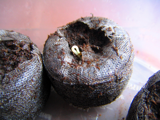 スターフルーツの発芽, germination of a starfruit seed