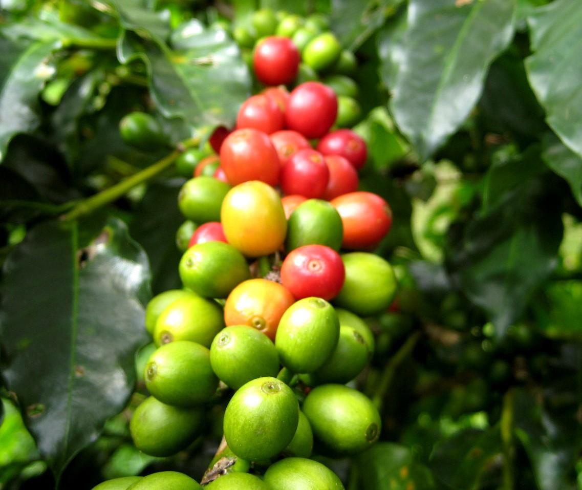 カレンダー 2016 1月 カレンダー : 31 / Março コーヒーの樹と赤い実 ...