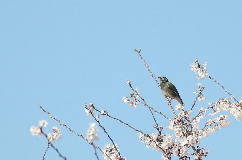 桜ムクドリ_f0117296_1657664.jpg