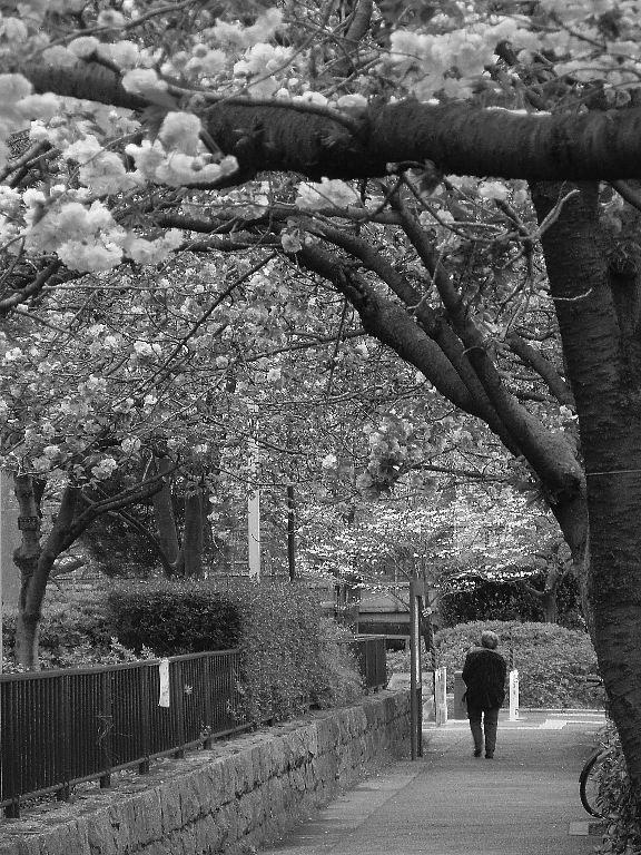 八重桜の道