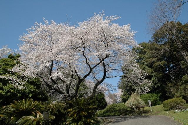 小石川植物園 春の花_f0012718_23245314.jpg
