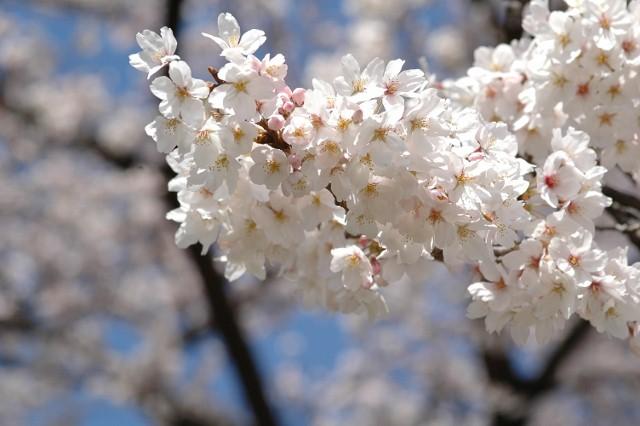 小石川植物園 春の花_f0012718_2328970.jpg