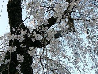 満開の夜桜ウォーク_f0019247_1153377.jpg