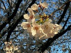 満開の夜桜ウォーク_f0019247_1164630.jpg