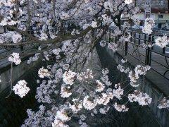 満開の夜桜ウォーク_f0019247_1171058.jpg