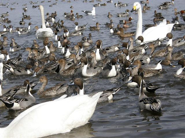 ウトナイ湖の白鳥 その2_d0153062_9374859.jpg