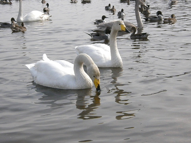 ウトナイ湖の白鳥 その2_d0153062_949462.jpg