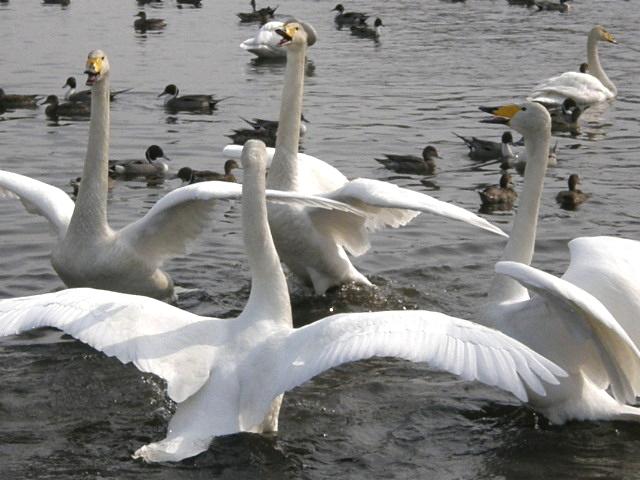 ウトナイ湖の白鳥 その2_d0153062_9501592.jpg
