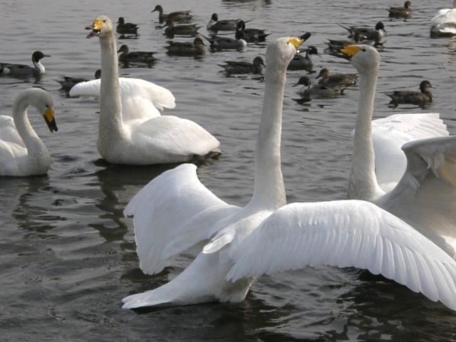 ウトナイ湖の白鳥 その2_d0153062_950176.jpg