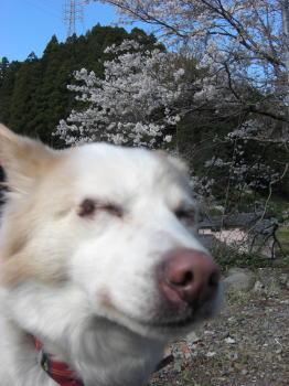 桜・満開_b0038381_2356618.jpg