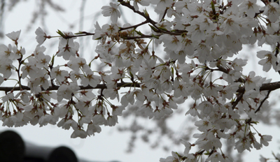 淡墨桜(奈良・薬師寺)_b0008289_20535884.jpg