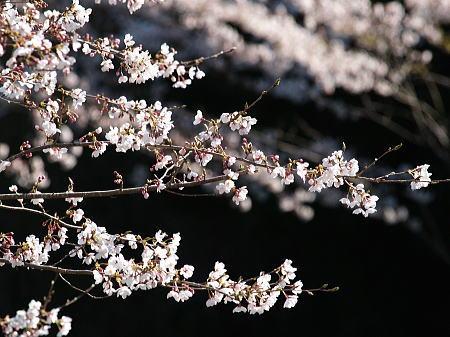 耐える桜_a0026295_1715253.jpg