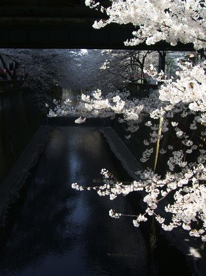 08春 中目黒の桜_d0003401_21473574.jpg