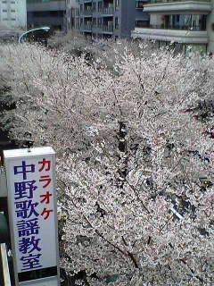 桜情報2_d0003502_1503235.jpg