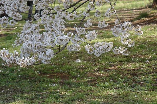 小石川植物園 春の花_f0012718_0371695.jpg