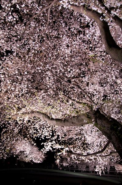 野川の夜桜_a0003650_0412223.jpg
