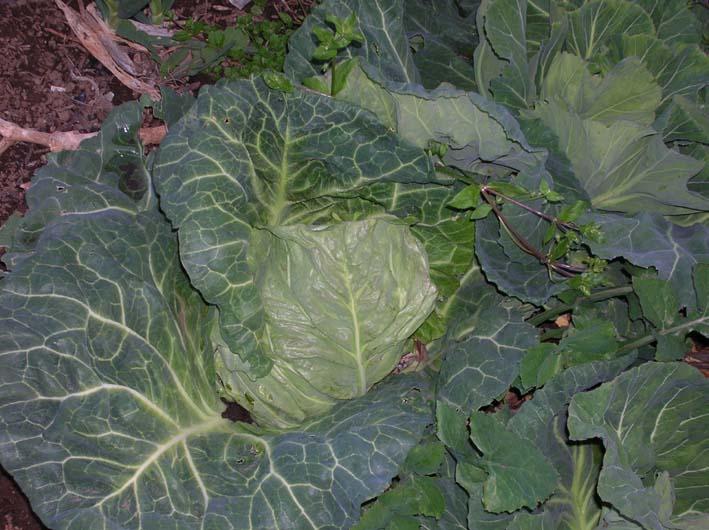 キャベツを初収穫、ネギはいよいよ最後の収穫(08・4・1)_c0014967_21312699.jpg