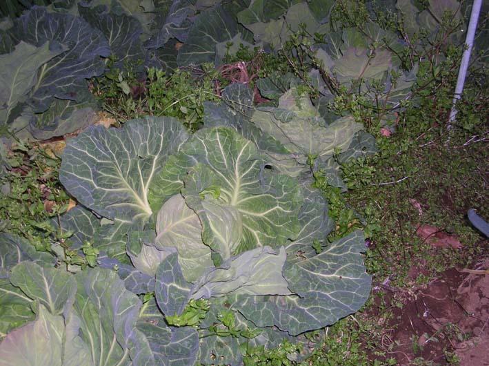 キャベツを初収穫、ネギはいよいよ最後の収穫(08・4・1)_c0014967_2131443.jpg