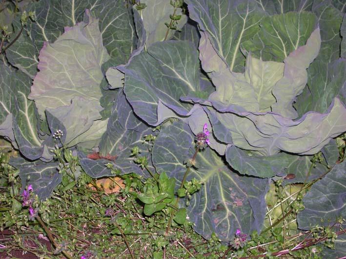 キャベツを初収穫、ネギはいよいよ最後の収穫(08・4・1)_c0014967_2132132.jpg