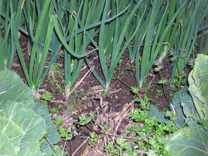 キャベツを初収穫、ネギはいよいよ最後の収穫(08・4・1)_c0014967_2133062.jpg