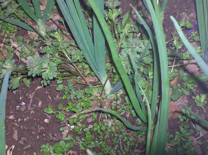 キャベツを初収穫、ネギはいよいよ最後の収穫(08・4・1)_c0014967_21332049.jpg