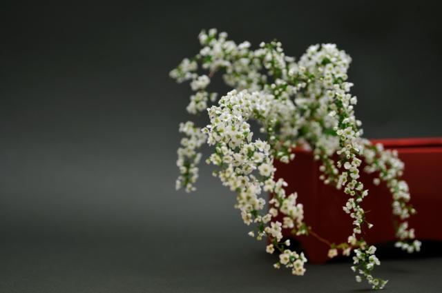 ユキヤナギ(花付) 雪柳