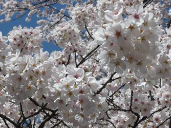 お花見_f0131668_17125134.jpg