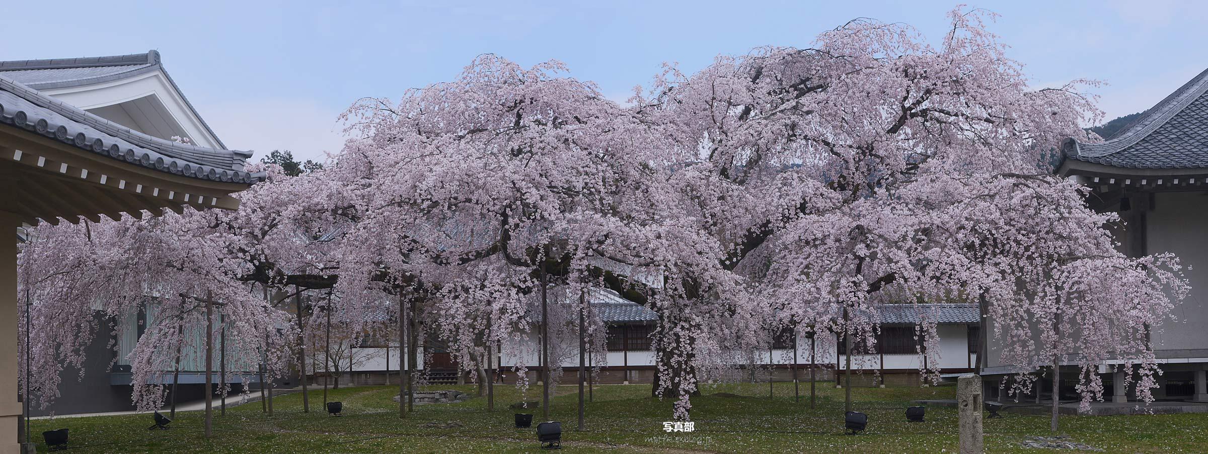 京都 醍醐寺・霊宝館の枝垂れ桜 _f0021869_21155789.jpg