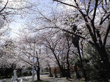 プチお花見~~ご近所の 桜の名所~♪_e0123286_1838085.jpg