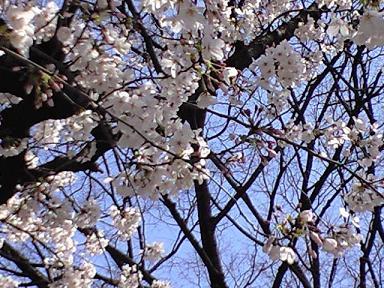 プチお花見~~ご近所の 桜の名所~♪_e0123286_1851373.jpg