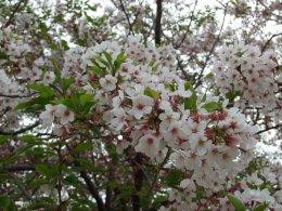 4月です。桜です。(^^)_b0078597_1465727.jpg