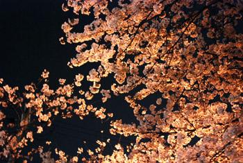 夜桜_e0103024_071715.jpg