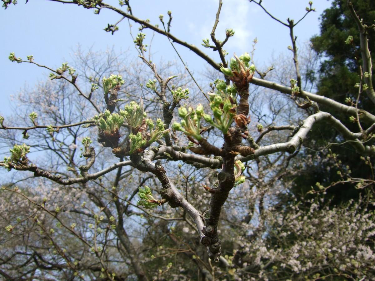 一気開花の春はもうすぐ_d0001843_23163862.jpg
