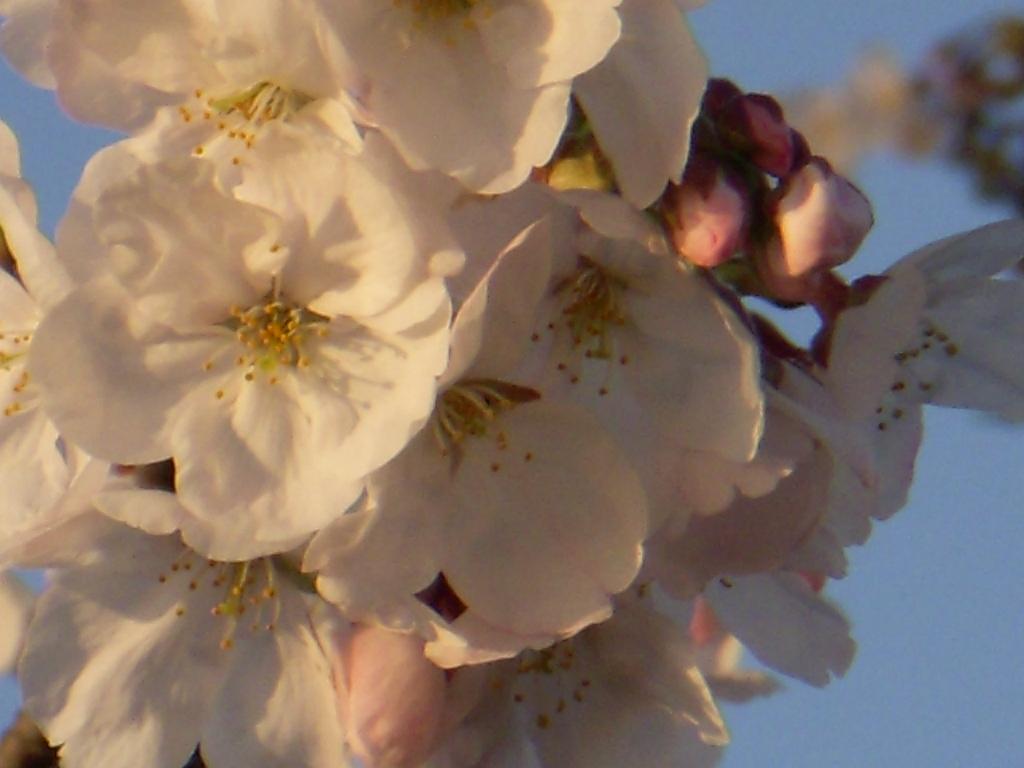 ムッシュハウス前・桜便り_c0156749_1814949.jpg