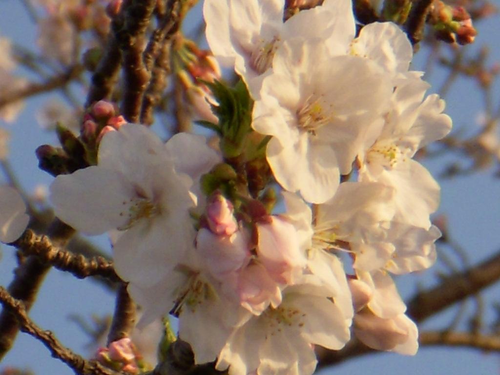 ムッシュハウス前・桜便り_c0156749_1851145.jpg