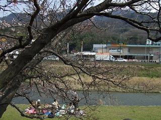 瀬野川河川敷の桜は3分咲きくらい_b0095061_8414264.jpg