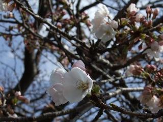 瀬野川河川敷の桜は3分咲きくらい_b0095061_8415020.jpg