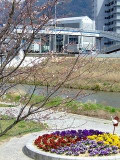 瀬野川河川敷の桜は3分咲きくらい_b0095061_8415684.jpg