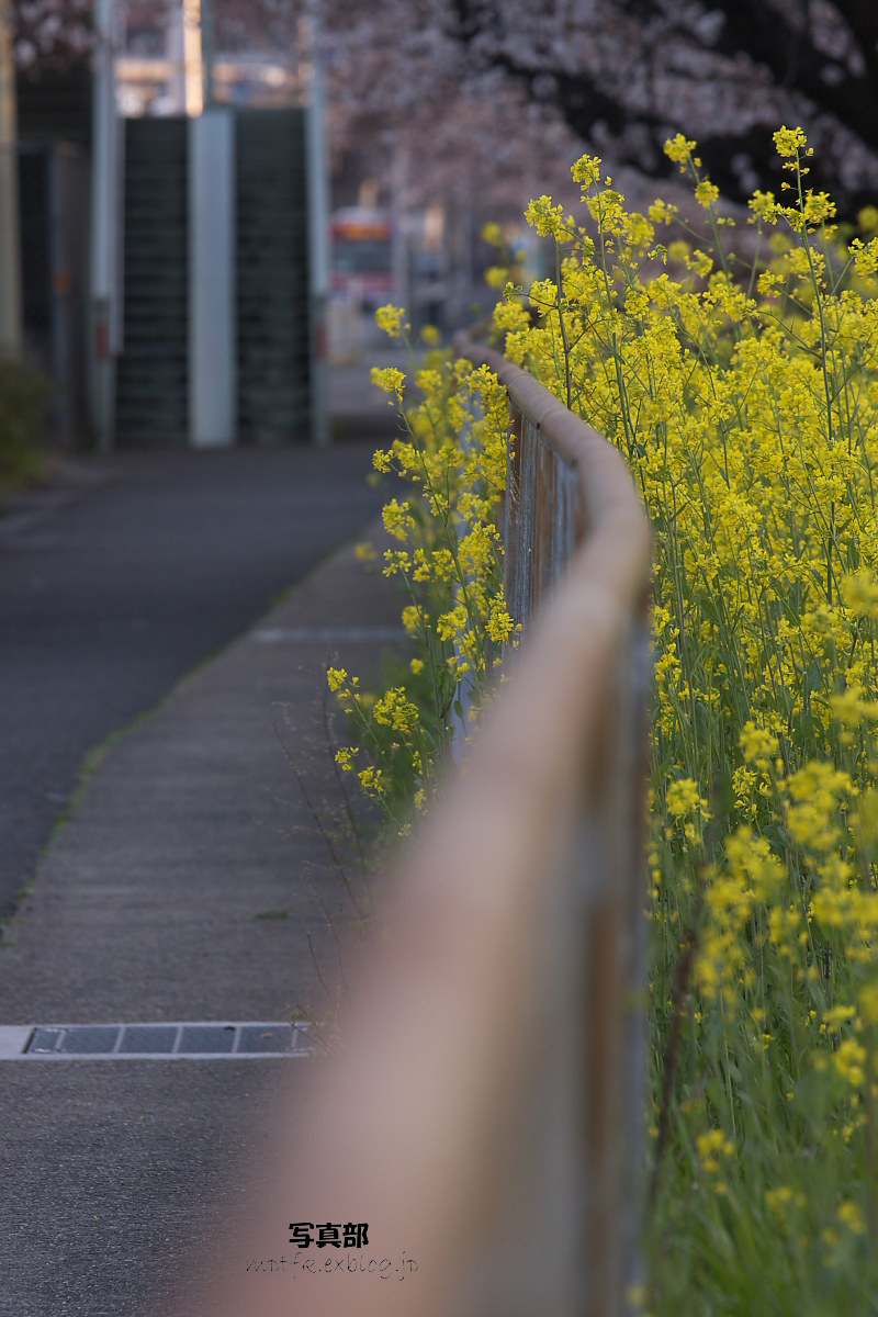 菜の花   feat.SAKURA_f0021869_9492615.jpg