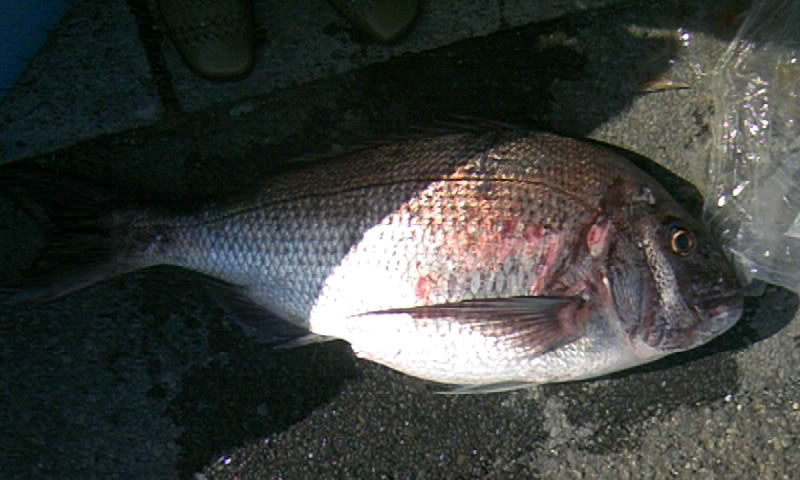 3日グンカン高場で真鯛85cm!やった!中西さん(^o^)/_d0114397_22344993.jpg