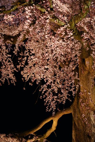 ほとんど夜桜の旅_d0028499_1937531.jpg