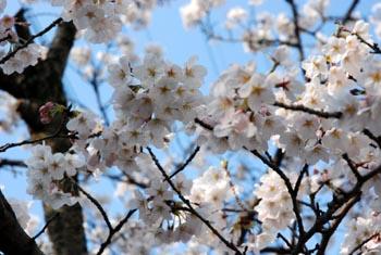 近場でお花見_e0103024_17192444.jpg