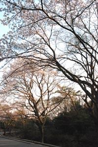 近場でお花見_e0103024_1719971.jpg