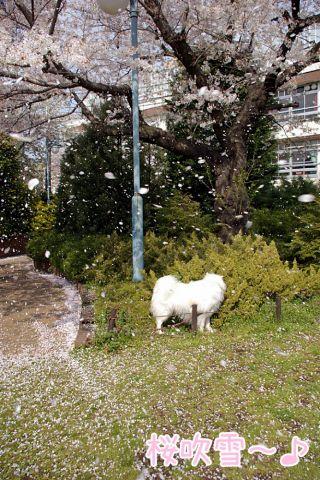 桜吹雪_c0062832_19132698.jpg