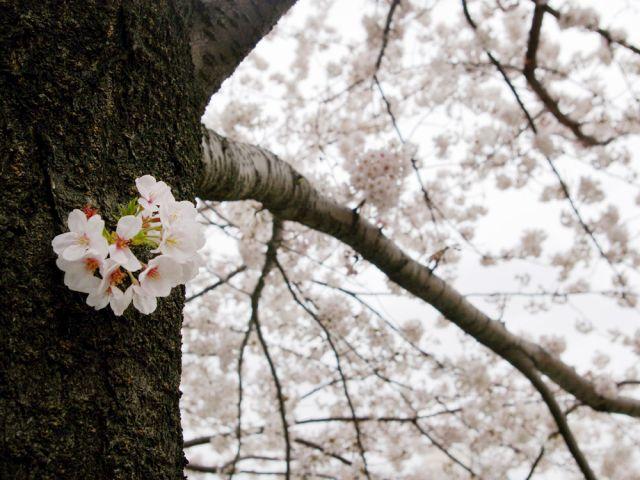 桜吹雪_c0062832_19133528.jpg